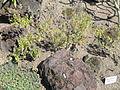 Micromeria pineolens - Botanischer Garten, Frankfurt am Main - DSC03165.JPG