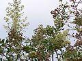 Mignonette tree (537119948).jpg