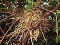 Mimus saturninus Nest.jpg