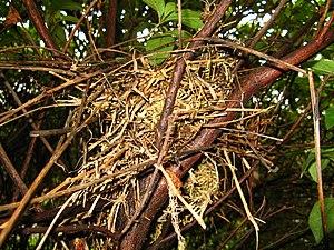 Chalk-browed mockingbird - Image: Mimus saturninus Nest