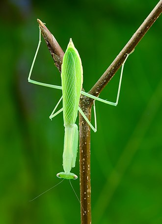 Miomantinae - Adult female Miomantis paykullii