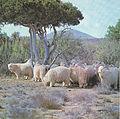 Mohair (Angora) goat.jpg