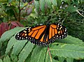 Monarch Butterfly (15247873605).jpg