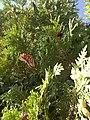 Monarch butterflies Danaus plexippus on eastern white cedar Thuja occidentalis Washington Island Wisconsin.jpg