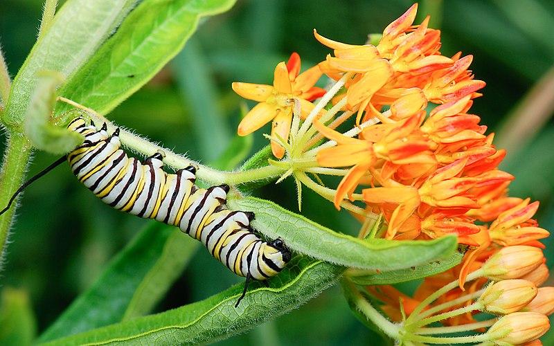 File:Monarch caterpillar (Danaus plexippus) on Asclepias tuberosa (butterfly milkweed) (2284495213).jpg