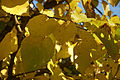 Morus nigra D.jpg