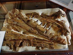Mosasaurus - Specimen TM 7424, the first skull, found in 1764