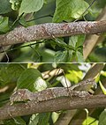 Mossy leaf-tailed gecko (Uroplatus sikorae) Montagne d'Ambre disguise composite.jpg