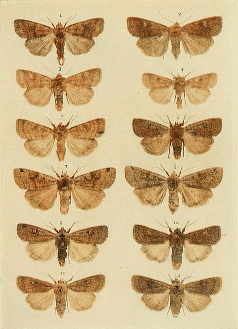 Moths of the British Isles Plate114.jpg
