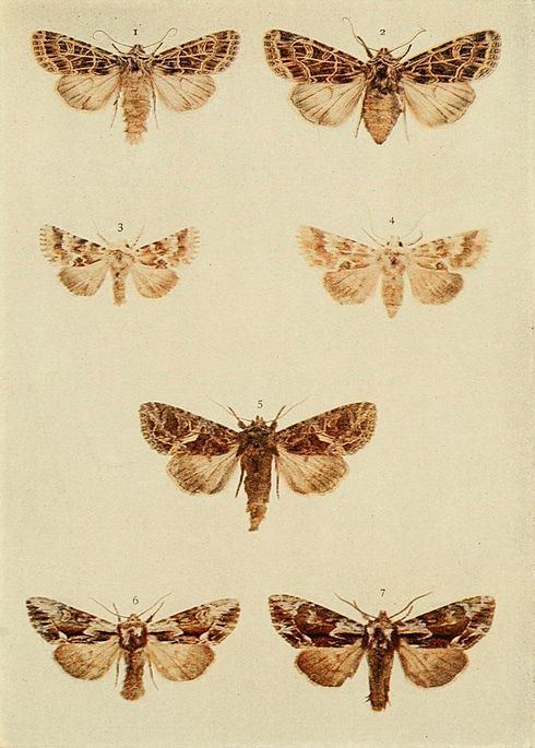 Moths of the British Isles Plate126.jpg