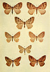 Moths of the British Isles Series2 Plate060.jpg