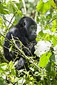 Mountain gorilla (Gorilla beringei beringei) 02.jpg