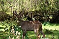 Mountain nyala, Bale Mountains National Park (27) (29211347941).jpg