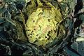 Murgantia histrionica04.jpg