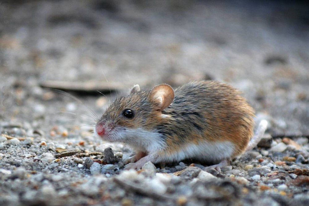 The average litter size of a African pygmy mouse is 4