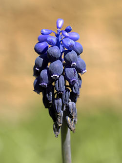 Muscari neglectum (flowers).jpg
