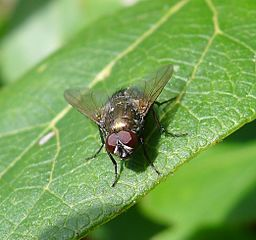 Muscidae - Flickr - gailhampshire (3)