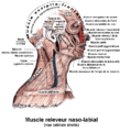 Muscle releveur naso-labial.png