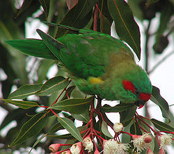 Musk Lorikeet tas feb03.jpg