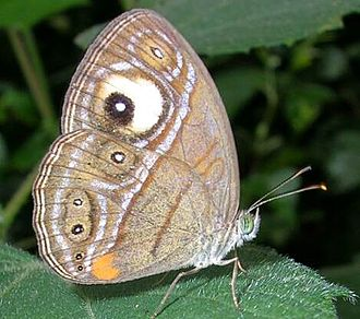 Eyespot (mimicry) - Many butterflies, such as this gladeye bushbrown (Mycalesis patnia), have eyespots on their wings.