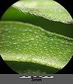 Myosotis scorpioides (subsp. scorpioides) sl3.jpg