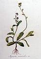 Myosotis versicolor — Flora Batava — Volume v8.jpg