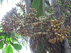 Areca nut production in India - Areca Nut in Mysore, Karnataka.