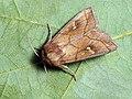 Mythimna conigera - Brown-line bright-eye - Полосатая совка жёлто-бурая (39265877170).jpg