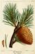 NAS-140 Pinus pungens.png