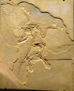 NHM - Archaeopteryx lithographica Fossil.jpg