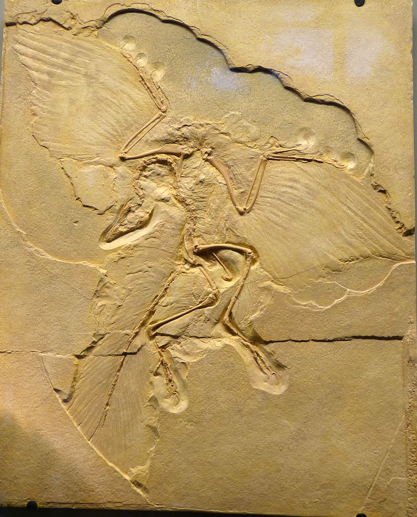 Archaeopteryx Museum Natural History