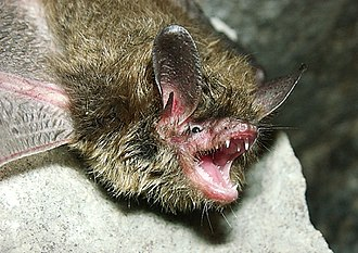 Myotis septentrionalis - A northern long-eared bat in southern Indiana
