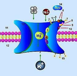 Rappresentazione del recettore dell' NMDA. da Wikipedia Italia