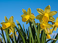 Narcissus flowers.jpg