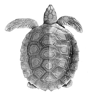 Flatback sea turtle - Illustration of a top view of a flatback sea turtle.
