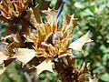 Native seed pods on dead bush edgewater.jpg