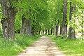 Naturdenkmal Lindenallee in Lößnitz Erzgebirge 2H1A2689WI.jpg