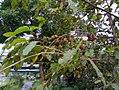 Nauclea orientalis fruit3.jpg
