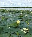 Nelumbo lutea, American lotus at Dixon Waterfowl Refuge.jpg