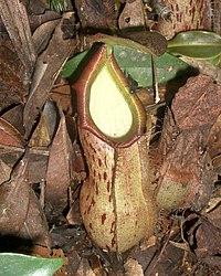 Nepenthes rhombicaulis1.jpg