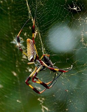 Arachnology - Nephila clavipes