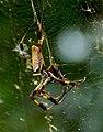 Nephila-clavipes-1.jpg