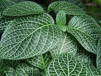 Fittonia - Image: Nerve Plant