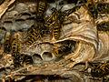 Nestbau der gemeinen Wespe VIII.jpg