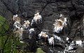 Nesting Kittiwakes at The Gobbins - geograph.org.uk - 1365370.jpg