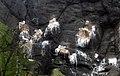 Nesting Kittiwakes at The Gobbins - geograph.org.uk - 1365370.jpg