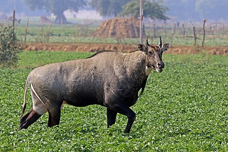Nilgai (Boselaphus tragocamelus) male, in India