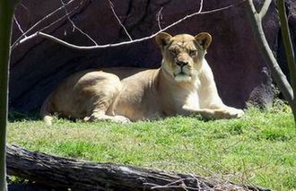 Virginia Zoological Park - Image: Norfolk Zoo Lioness