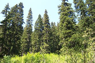 Rocky Mountain Floristic Region - Forest of Pseudotsuga menziesii subsp. menziesii in Washington