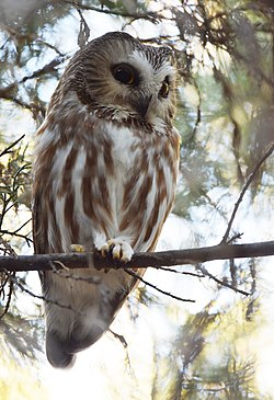 Northern Saw-whet Owl (31089620114).jpg